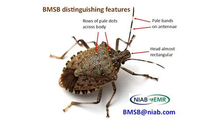 How to identify a brown marmorated stink bug