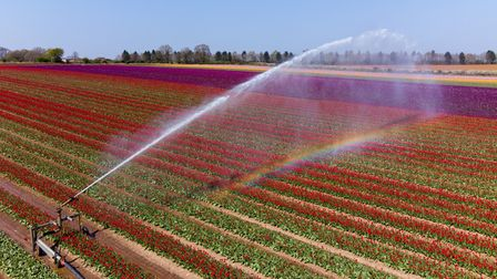 Thousands of tulips have burst into colour in fields near King's Lynn in Norfolk. Picture date: Mond