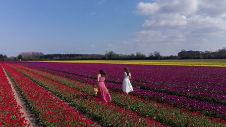 Marcia (left) and Nuria from Norwich walk along rows of tulips which have burst into colour in field