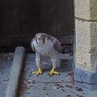 Ely Cathedral's Peregrine Falcons