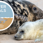 A grey seal with her newborn pup on the beach at Horsey Gap
