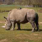 Africa Alive! in Kessingland, near Lowestoft, has welcomed a new southern white rhino to the zoo