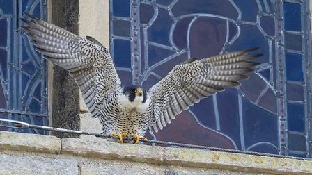 Peregrine falcon Ely Cathedral