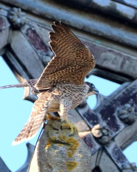 Several peregrine falcons have made Ely Cathedral their home and Fen photographer Martyn Jolley post