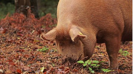 Tamworth pigs grazing at Wild Ken Hill, on the west Norfolk coast near Snettisham. Picture: Les Buny