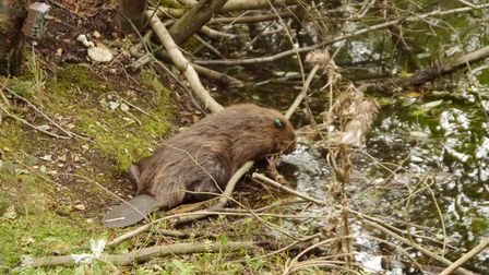 Two male beavers have been released into the territories of two female beavers at Wild Ken Hill in S