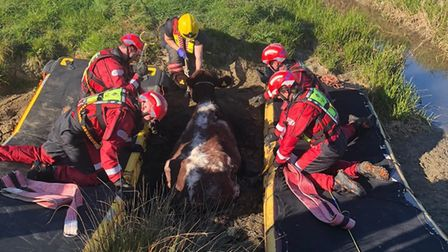 Cow rescue mission Facebook/CambsFRS