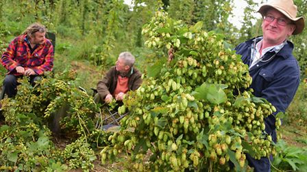 Simon Barker, right, picks Fuggles hops from his hopyard at Salle. Helping him with the crop are Jul