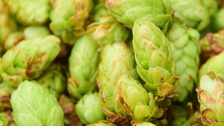 Some of the green hops picked from Simon Barker's crop at Salle. Picture: DENISE BRADLEY