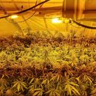 Cannabis plants found in property in Wisbech.