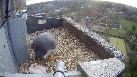 The four peregrine falcon chicks on the Norwich Cathedral Spire have now hatched.