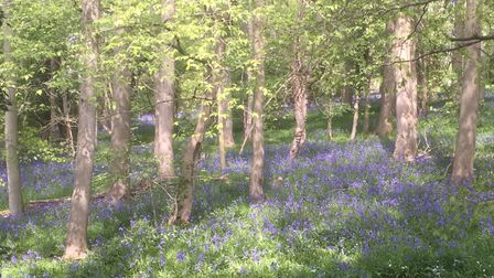 Bluebell woods on a footpath just south of Norwich