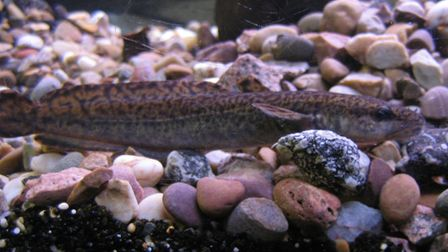 A burbot in a fish tank
