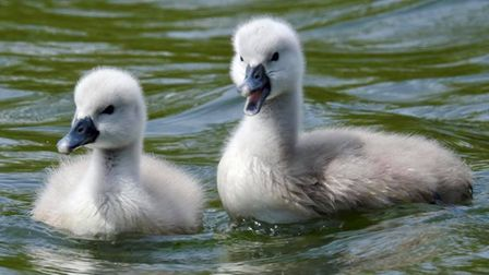 The Cygnets have become a bit of an attraction for some local residents of Needham Market