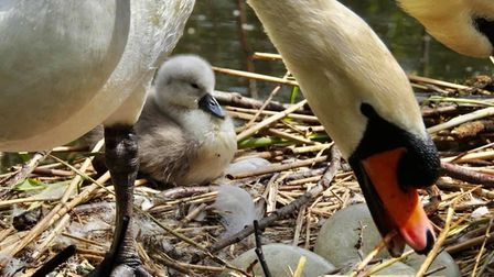 Cygnets at Needham Market lake have hatched with another four expected in the next couple of days
