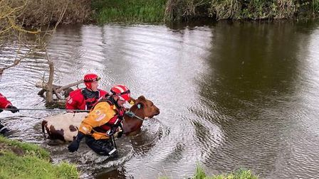 Fire crews from Colchester and Chelmsford helped rescue the calf in Dedham
