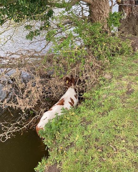 The calf was trapped in the river off Mill Lane