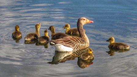 Mum and her seven babies taken down by the river in Ely.