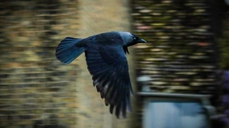 Finally got a flying bird shot that's pretty clear. A beautiful jackdaw to.