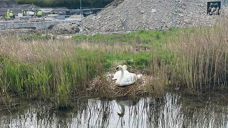 The swanshave hatched their eggs on Wiers Drove in Burwell
