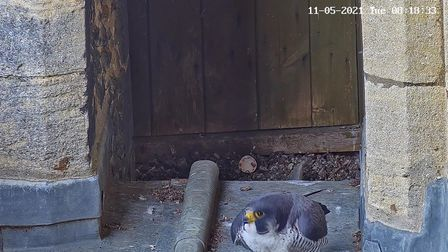 Eggs belonging to twoPeregrine Falcons nesting on the rooftop of Ely Cathedral have hatched.