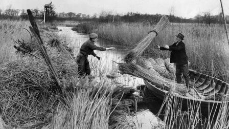 Harvesting reeds on the Norfolk Broads at Woodbastwick in 1949.
