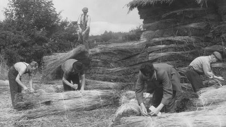 Bundles of Norfolk reed for a thatch project in Maine, USA being prepared.