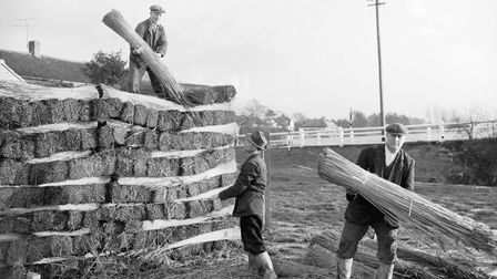 Stacking of the reed used in thatching in 1960