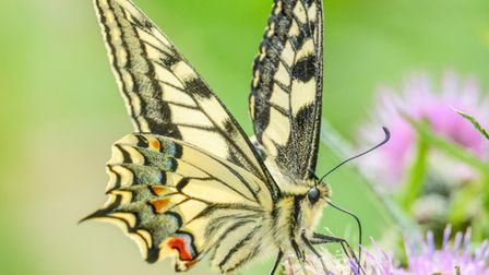 A lovely swallowtail butterfly