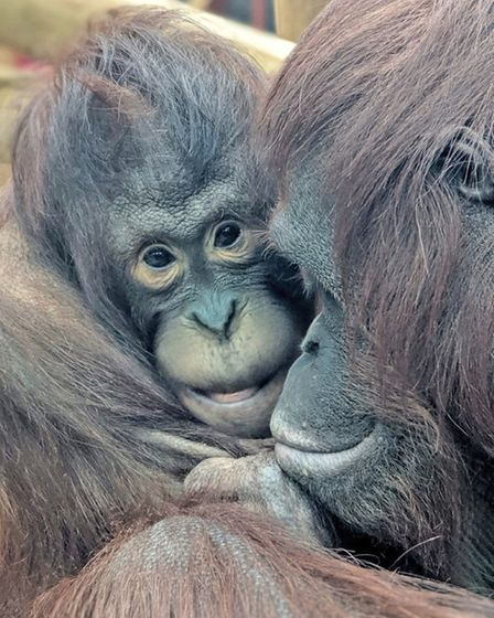 Mali and Tatau are Colchester Zoo's two new arrivals.