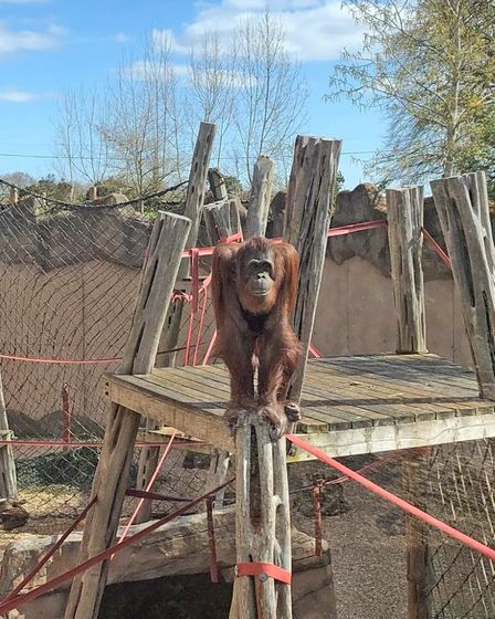 Mum Mali exploring her new home at Colchester Zoo