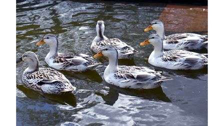 Ducks at the new smallholding atAllonsfield House nursing homein Campsea Ashe