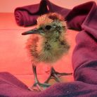A recently-hatched curlew chick.