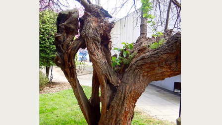 The 500-year-old mulberry tree at Bethnal Green