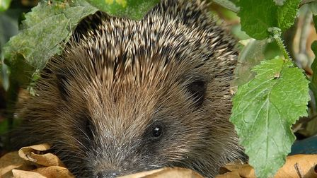 Hedgehogs' main source of food include snails and slugs