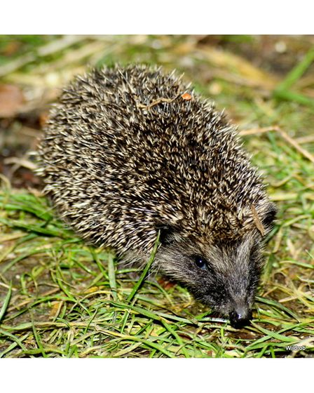 Hedgehogs are one of Britain's remaining native mammalian species