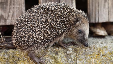 Young hedgehog on the stone wall wooden with fence.