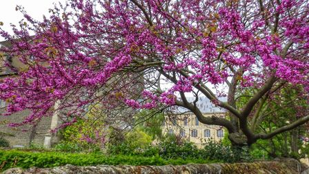 Beautiful Blossom Tree in Ely.