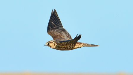 Peregrine falcon flying in the sky