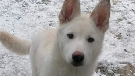 White dog Mochi standing in the snow