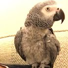 Reward offered in search for missing parrot Chezzie