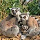 Two baby ring-tailed lemurs were born at Colchester Zoo.