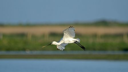 A spoonbill at Cley Marshes