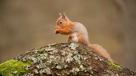 A red squirel