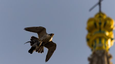 A peregrine falcon swooping around the spire of Norwich Cathedral