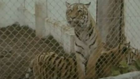 Thorney Wildlife Park tigers worth around £4,000 during the 70s.