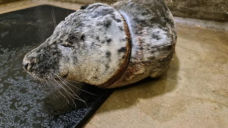 Gnocchi, was found in Walton-on-the-Naze in March with a wound around his neck by the RSPCA and is since on the mend.