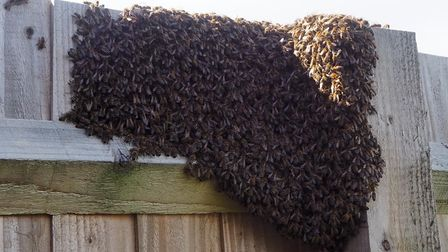 A swarm can contain between 10,000-20,000 bees