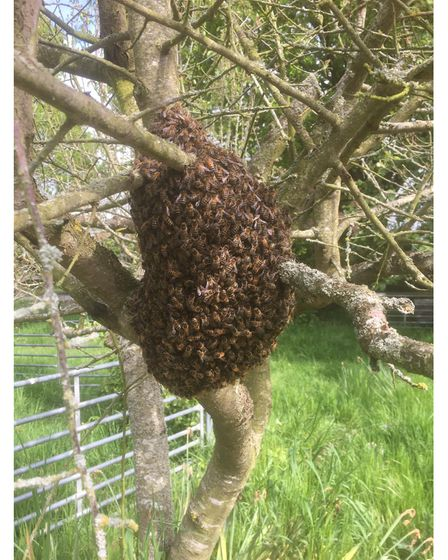 Swarms are bees that have left a previous colony to find a new home
