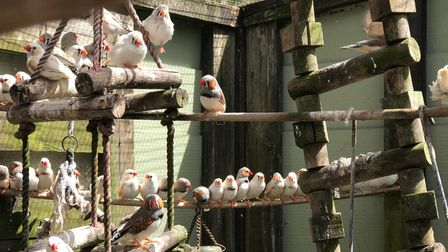 Zebra finches that need new homes